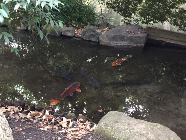 越冬中の鯉