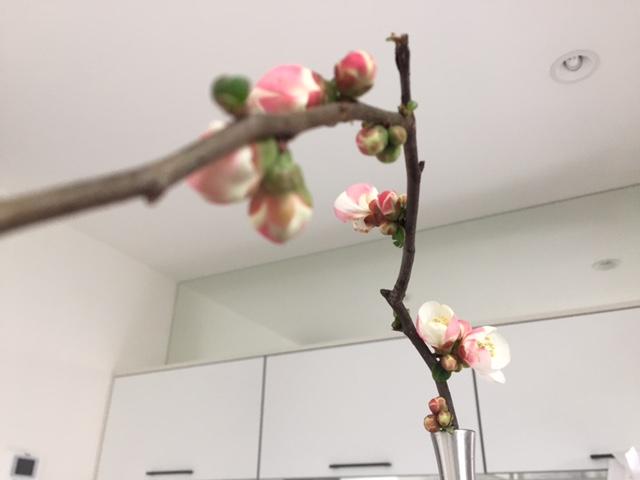 暖かい室内で開花させたボケ