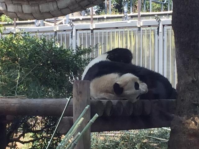 今日のパンダ