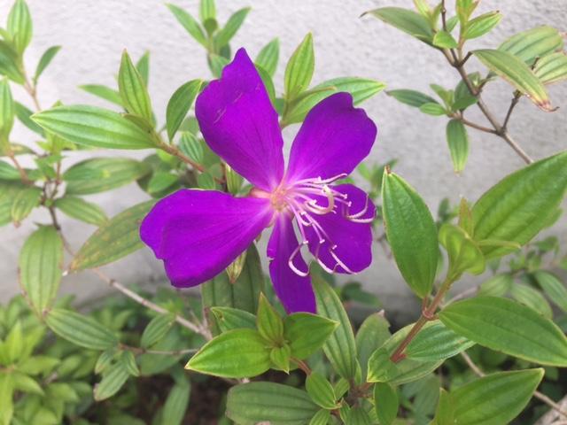 自宅でも野牡丹の花