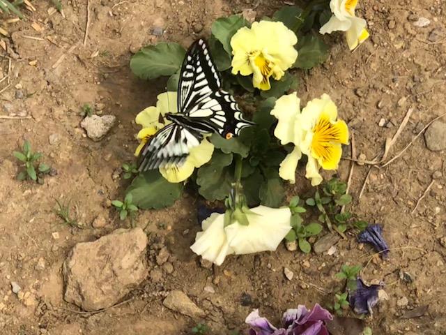 我が家を訪ねたアゲハ蝶