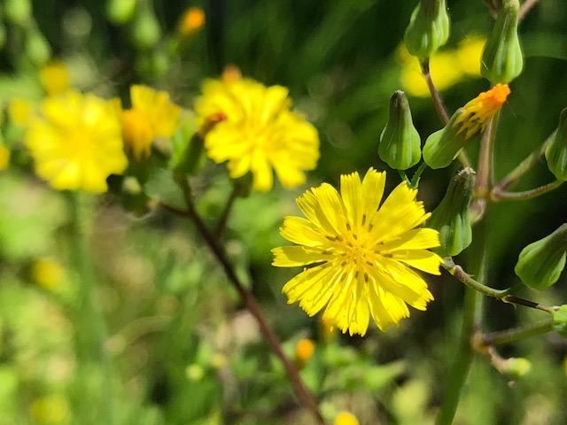 田舎の野花