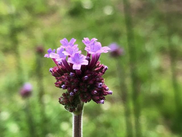 散歩道の野花