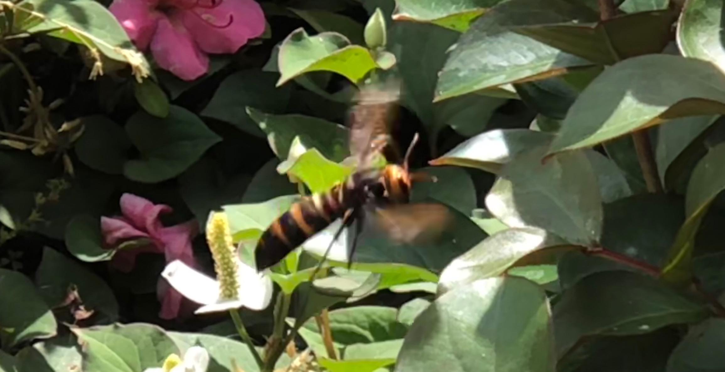 怖いオオスズメバチ