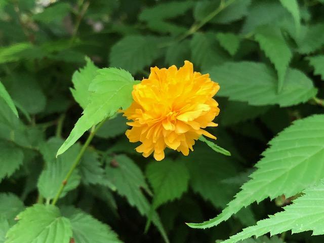 七重八重花は咲けども山吹の
