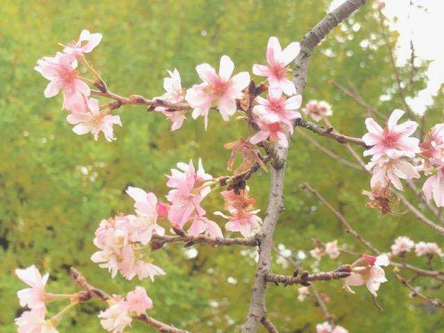 おとめ山の桜
