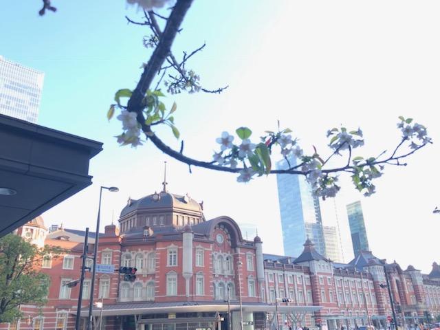 東京駅の桜