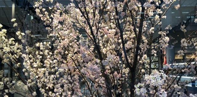 デイスプレイの桜